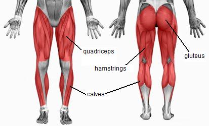 quads-glutes-hamstrings-calves